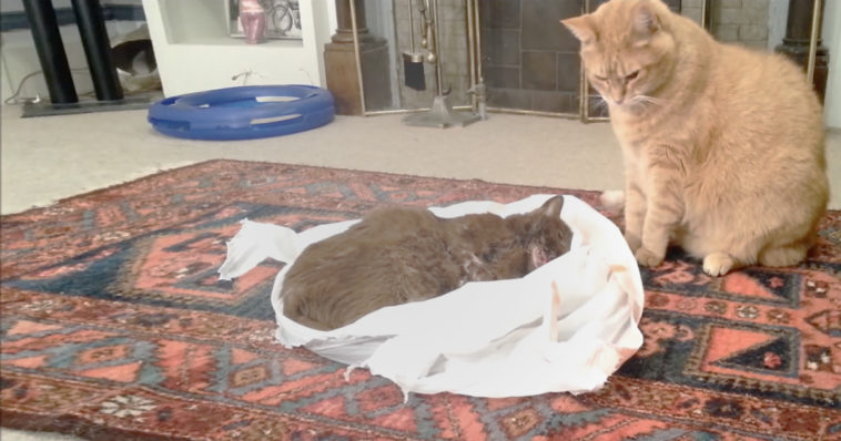 Cat tries to revive his friend who died of cancer