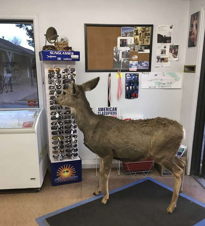 Deer observes products in the store
