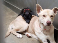 little dog abandoned in a shelter will not leave the side of his friend
