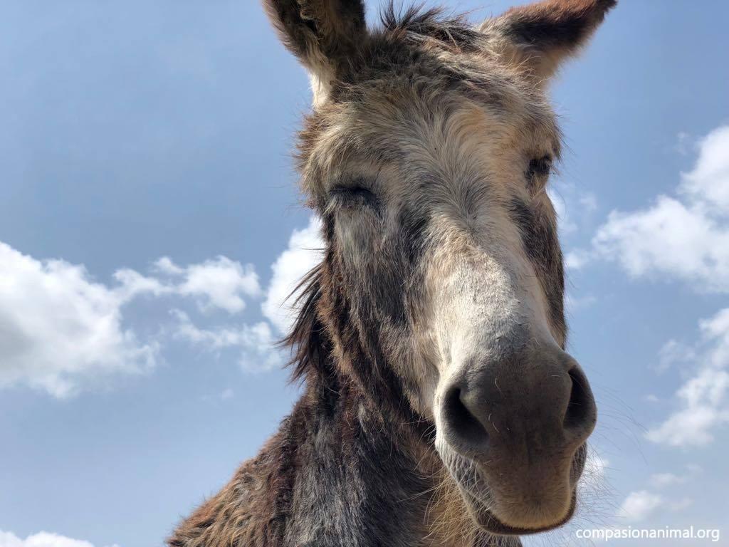 Donkey pippin