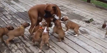 Hungry puppies follow dad for food